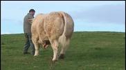 Най-големия бик в света !