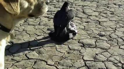 Сокол скитник убива гълъби