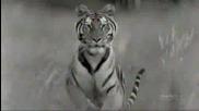 * Бг Превод * Imax India Kingdom Of The Tiger ~ Индия: Царство На Тигъра
