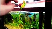 Попугай Ловит На Хвост Рыбу В Аквариуме -) Аквариумистика - Аквариумные Рыбки