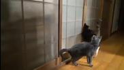 Възпитана котка, чука на врата