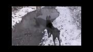 Кане Корсо - Легендарното куче