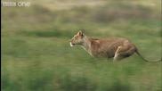 Ето Как Лъвовете Си Хващат Плячката !
