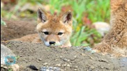 Coyote Attacks on Young Children Prompt Warning in California