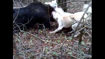 lov na divo prase 2