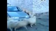Овце Пречат на Кола да Мине
