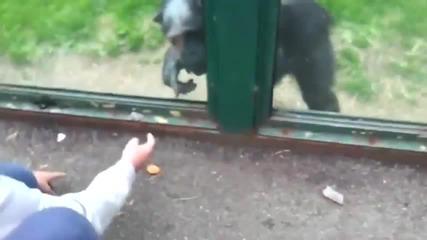 Шимпанзе моли посетителите да го освободят