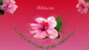 Хибискусът - тропическият бисер на градините!