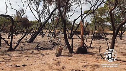 Australia: Heartbreaking video shows injured koala left stranded on Kangaroo Island