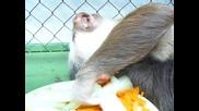 Ленивец го мързи даже да яде !
