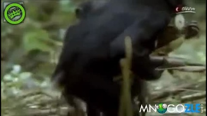 Маймунски секс пози