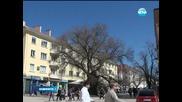 Сливенският бряст стана европейско дърво на годината
