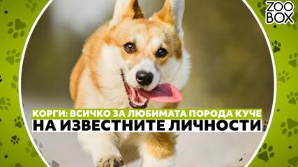 Корги: как се отглежда любимата порода куче на кралица Елизабет