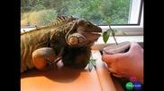 Игуана ядене Марихуана :)