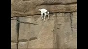 Планинска коза се катери по отвесни скали