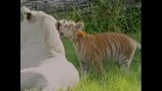 Sweeety Tigerr Videoo {мн Сладки Тигри}