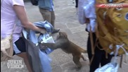 Маймунка крадец напада жена