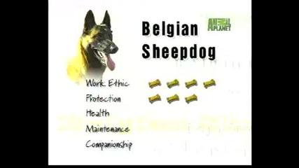 Всичко за породата - Белгийски овчарки