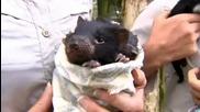 Тасманийски дяволи лице на обществеността в Куинсланд.wmv