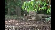 Лъвчета си играят (не са ли сладки)