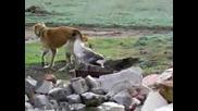 Гъска срещу куче