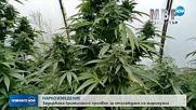 Задържаха земеделски производител на марихуана