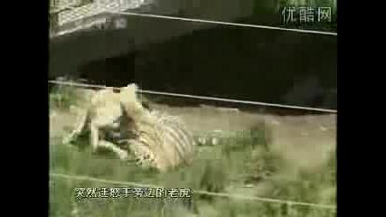 Куче Напада Тигър