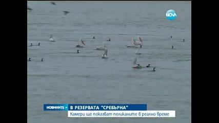 Камери ще показват пеликаните в реално време - Новините на Нова