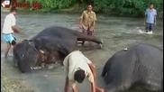 Ох баня, ох ...! Spa глезотии за слоновете в Бенгал