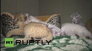 Срещни се с трите малки бенгалски тигъра в Крим