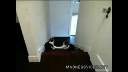 боксиращи се котки