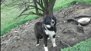 Овчарско куче - Истински дявол