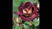 Розата - символ на любовта и смъртта