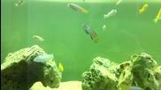 Malawi mbuna young cichlids