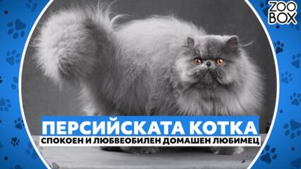 Персийската котка: спокоен и любвеобилен домашен любимец