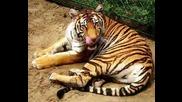 Tigari