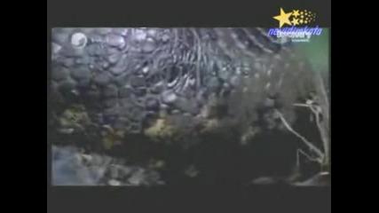 Анаконда Поглъща Алигатор!