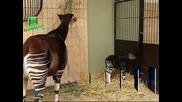 Бебе Окапи се роди в зоопарк в Антверпен