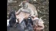 Ловджийски кучета нападат лъв