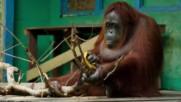 Женски орангутан реже клон с трион .