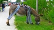 Знаете ли: Къде магаретата ходят с пижами?