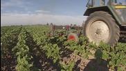 Окопаване на слънчоглед - Gopro