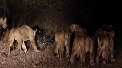 Бодливо свинче срещу лъвове