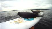 тюленчета се опитват да сърфират