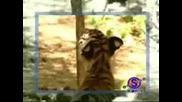 Маймуна Тормози Две Тигърчета - Много смешно
