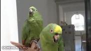 Смях ... Пеещи папагали