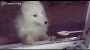 Полярна лисица преодолява страхът си пред човек за да хапне няколко лъжици кисело мляко