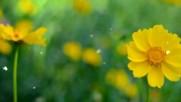 Космеята - цветето на Вселената!