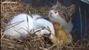 Котка се грижи за малки пиленца