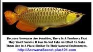 Arowana Tank, Baby Arowana Care, Yellow Tail Arowana, Malaysian Gold Arowana, Gold Arowana Fish